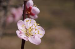 和菓子みたい! ~可愛い梅の花のお菓子はいかがですか?~