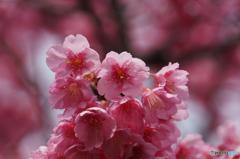 春色・桃色・土肥桜