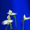 花色季節 サギソウ#8 背景が目立つ