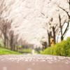 花色季節 さくら咲く#1 咲いたばかりなのに・・・