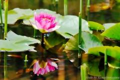 花色季節 睡蓮#7