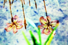 小岩菖蒲園#62