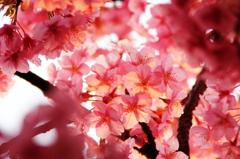 花色季節 夕方さくら#1