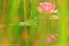 花色季節 睡蓮#10