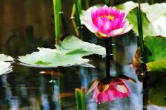 花色季節 睡蓮#9
