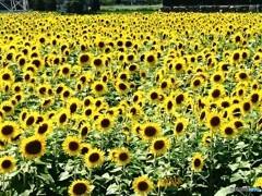 花色季節  ひまわり#2