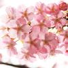 花色季節 TDSsakura#4