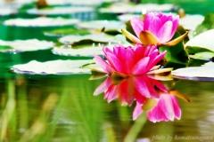 花色季節 睡蓮#8