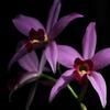 花色季節 新宿御苑温室#1 レリア アンセプス