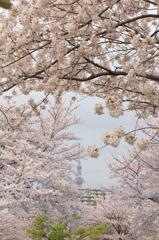 花色季節 さくら風景#23