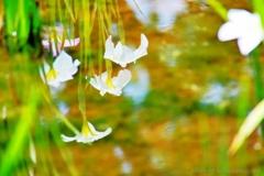 小岩菖蒲園#63