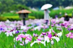 小岩菖蒲園#55