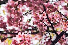 12月桜咲く#4 作業中