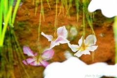 小岩菖蒲園#64