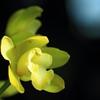 花色季節 新宿御苑温室 #14 シンビジューム シルキーウィンド イエローカード
