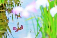 小岩菖蒲園#66