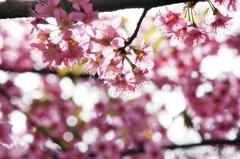 12月桜咲く#5 花びら