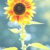 花色季節 ひまわり