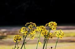 黄色く輝く