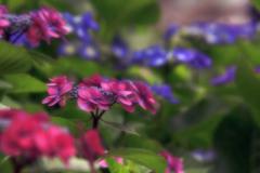 花色季節 2018アジサイ#14