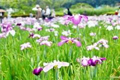 小岩菖蒲園#65