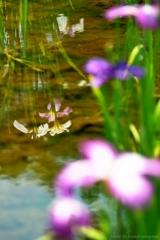小岩菖蒲園#60