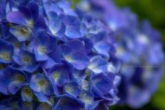 花色季節 2018アジサイ#17