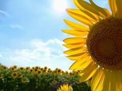 花色季節  ひまわり#3