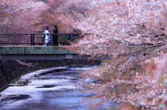 散り際の桜の景色