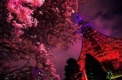 東京タワー×桜の妖景