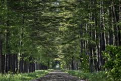 カラマツ並木-2