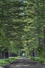 カラマツ並木-1