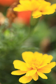 黄色い希望