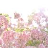 新宿御苑の八重桜たち4