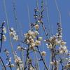 青に映える純白の梅