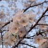 桜色が夕日に染まる