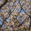 山桜と目白