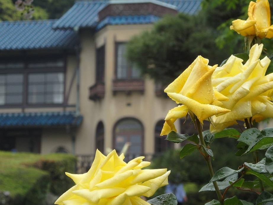 ♪鎌倉の薔薇