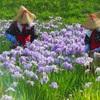 ♪花摘み~衣笠菖蒲園