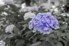 紫陽花 180613