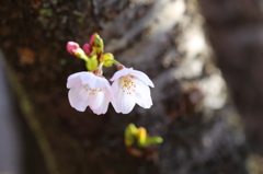 仲良し姉妹桜