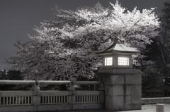 桜 20160404-017