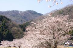 桜並木とキハ