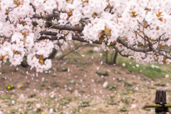 今年の桜も終わる