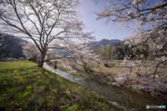 名もなき田舎の長閑な桜風景