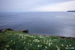 あわじの海と水仙と