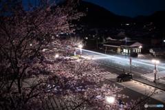 車のライトに映える夜桜