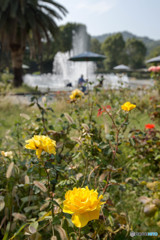 薔薇と噴水のある風景