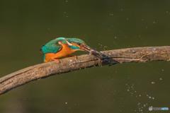 いつもの公園「魚漁る鳥」(3)