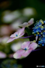 彩花、紫陽花(参)
